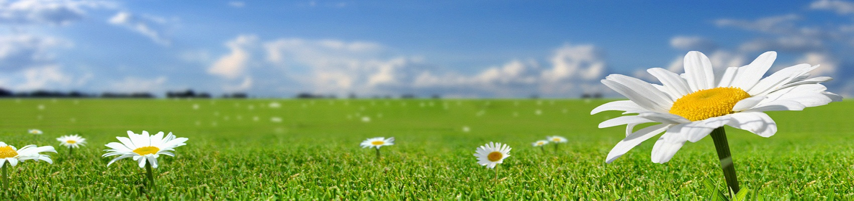 flower-camomile-summer-field-grass-blue-sky-v2